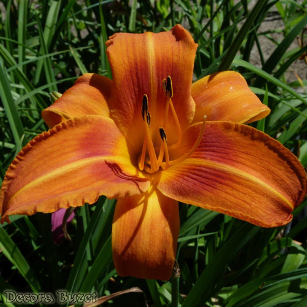 Hemerocallis 'Rocket City' (graničica)