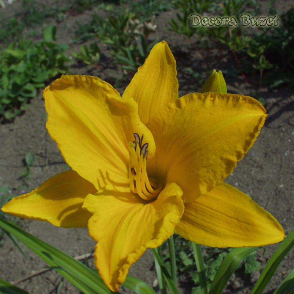 Hemerocallis 'By Myself' (graničica)