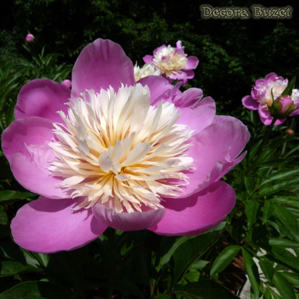 Paeonia 'Bowl of Beauty' (zeljasti božur)