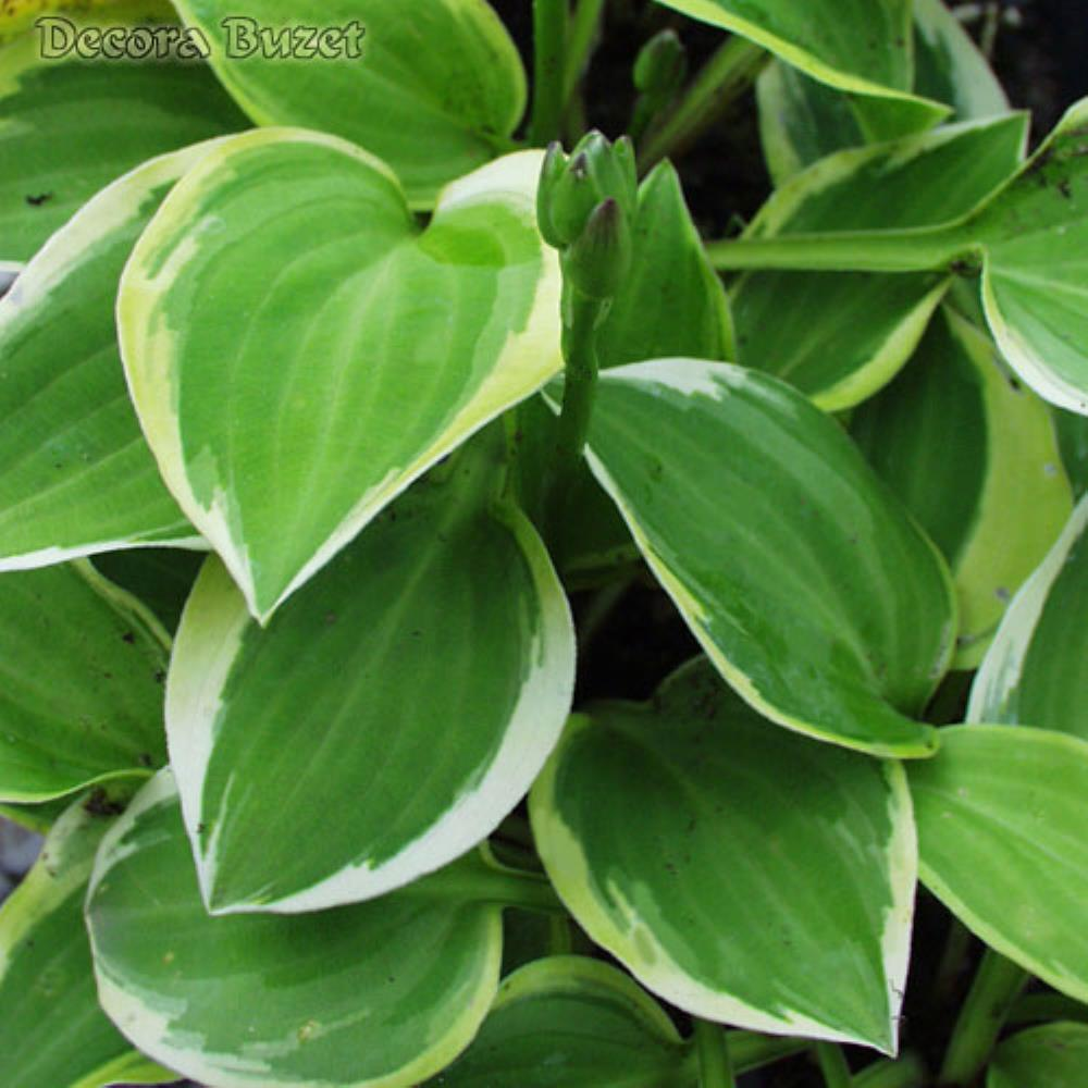 Hosta 'Golden Tiara' (hosta)