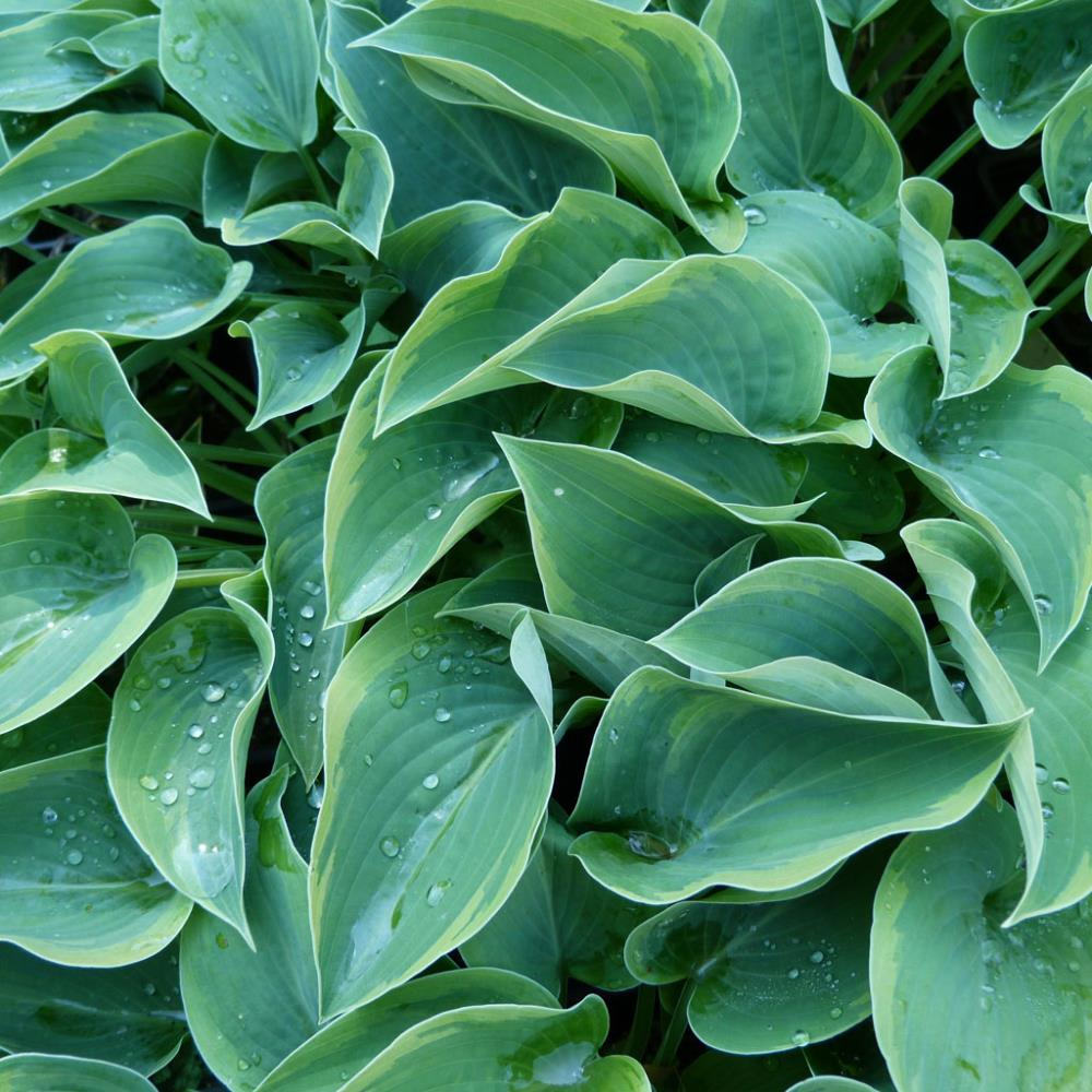 Hosta 'Toy Soldier'