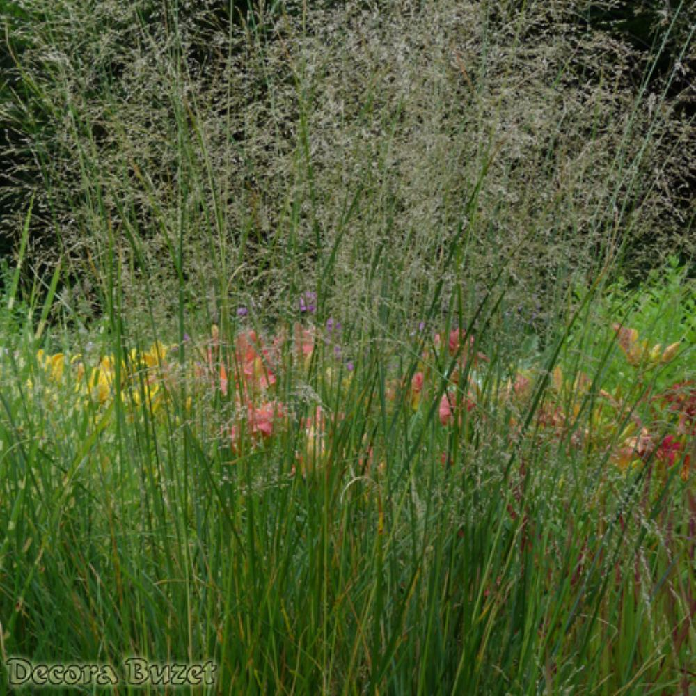 Deschampsia caespitosa 'Goldtau'  (busika)