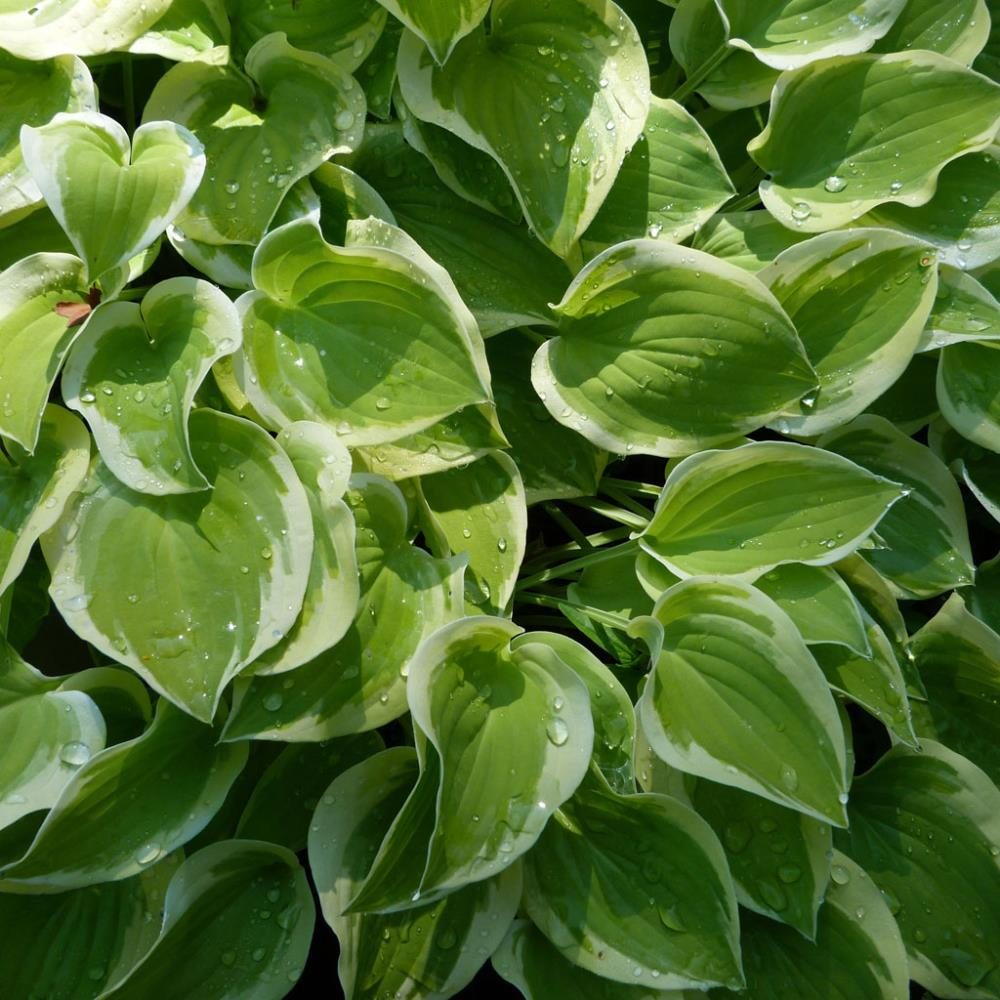 Hosta 'Lakeside Ninita'