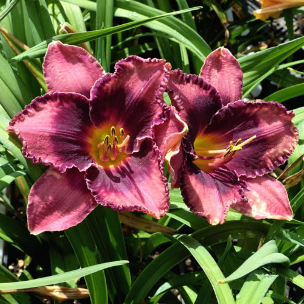 Hemerocallis 'Night Breeze' (graničica)