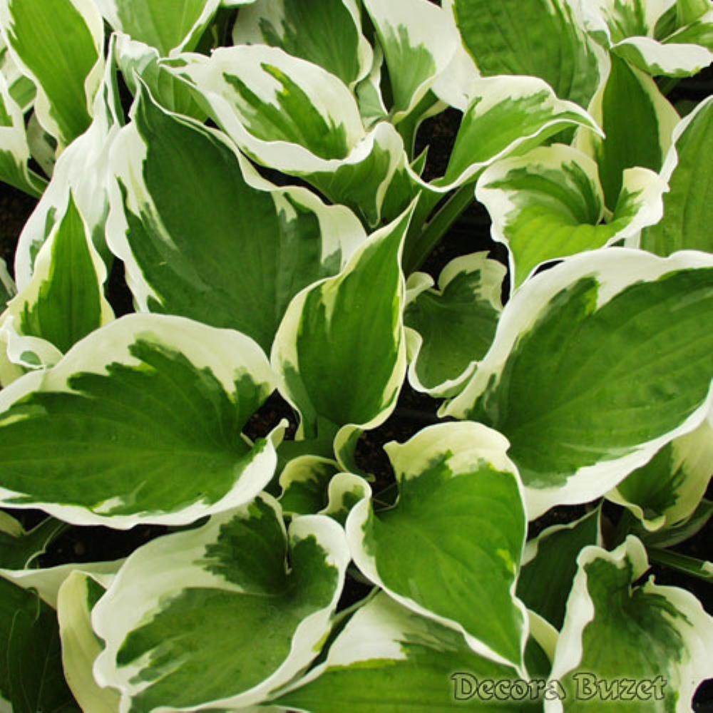 Hosta 'Patriot' (hosta)