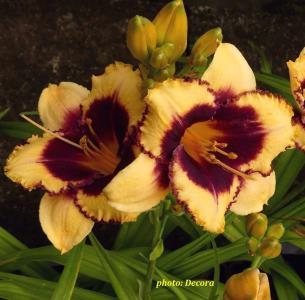 Hemerocallis 'Eye on America' (graničica)