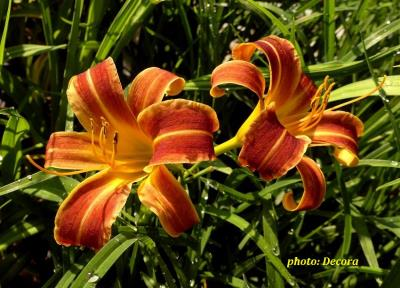 Hemerocallis 'EveryDaylily Red Ribs' (graničica)