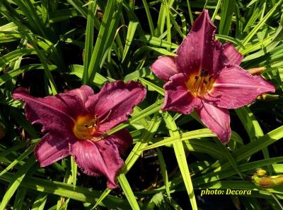 Hemerocallis 'Summer Wine' (graničica)