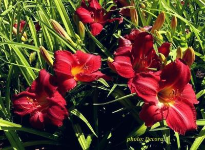 Hemerocallis 'Charles Johnston'  (graničica)