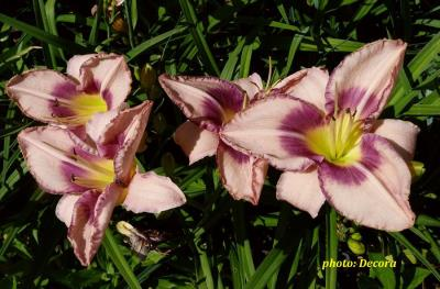 Hemerocallis 'Edge Ahead'  (graničica)