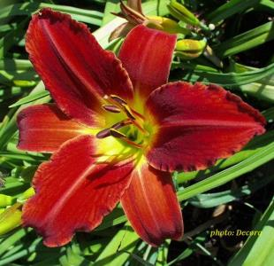 Hemerocallis 'Galena Holiday' (graničica)