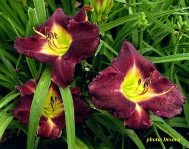 Hemerocallis 'Evening Enchantment' (graničica)